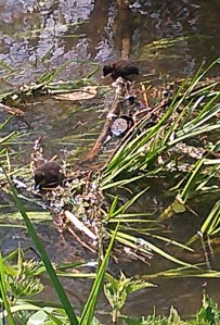 Baby ducks explore in the sunshine.