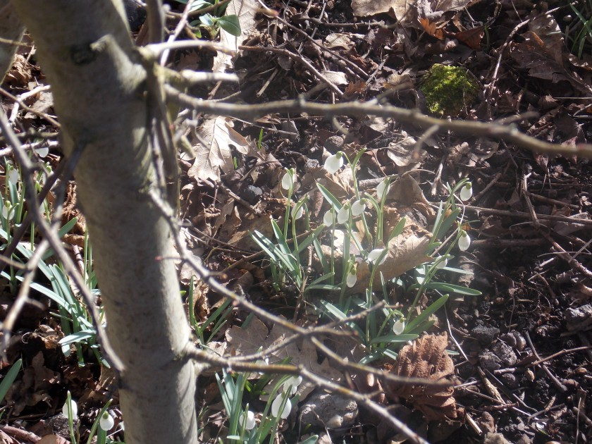 Snowdrops in Pleasley 2015